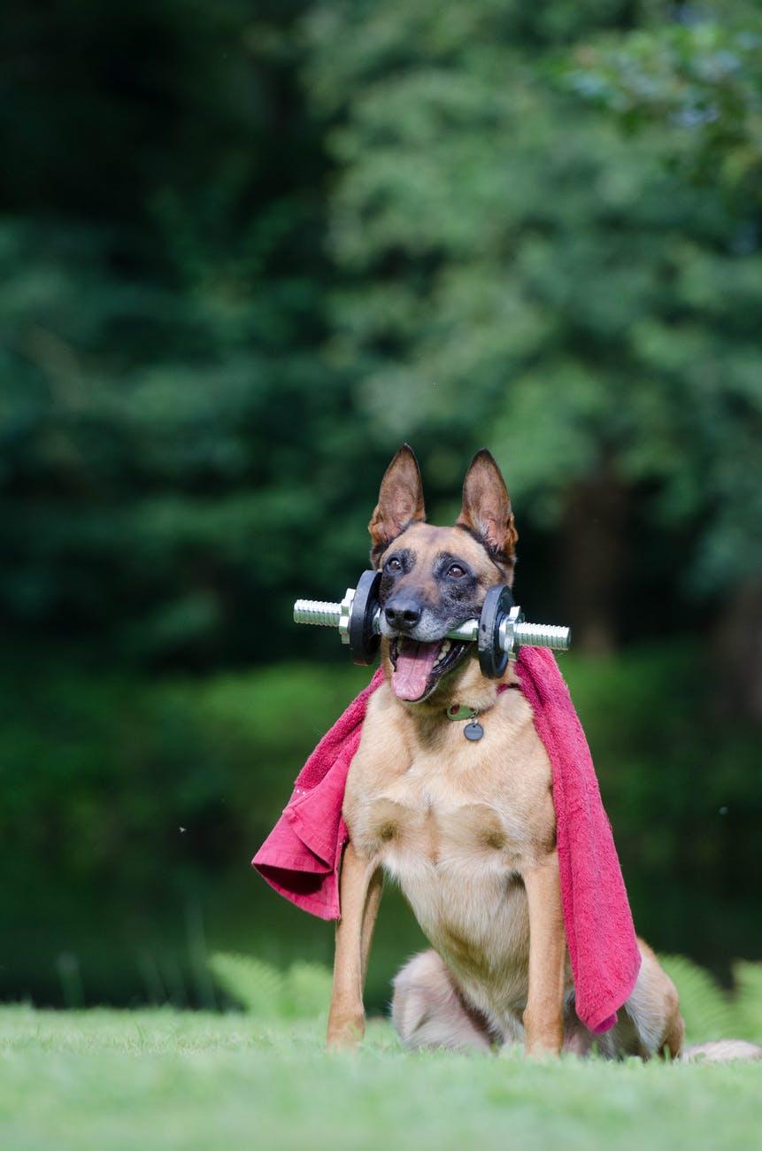 fitness trick dog trick malinois