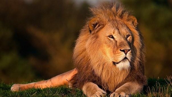 lion-794962__340.jpg