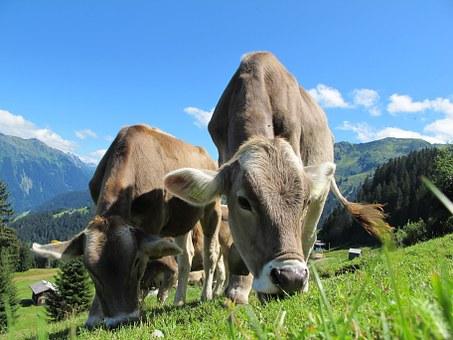 cows-203460__340.jpg