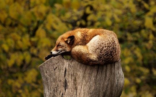 fox-1284512__340.jpg